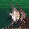 Pterophillum Scalare selvatico