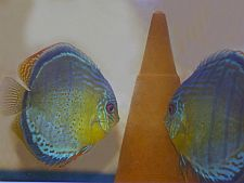 Rio Tefe Green Discus (Bruno Scotto 2000)
